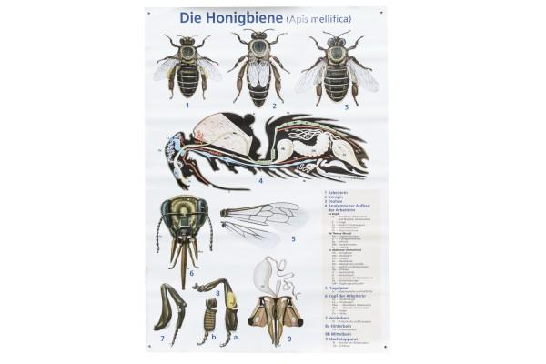 Lehrtafel Die Honigbiene