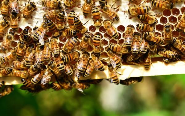 Bienenvölker kaufen Carnica auf Dadant Blatt