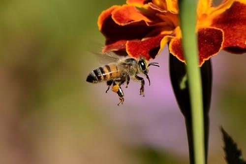 Biene-sammelt-Pollen-fur-Honig