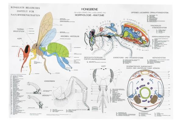 Lehrtafel Anatomie der Honigbiene
