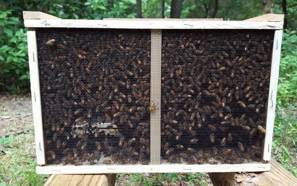Carnica Bienenschwarm standbegattet