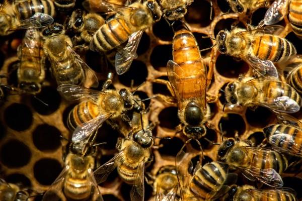 Ligustica Bienenkönigin belegstellenbegattet
