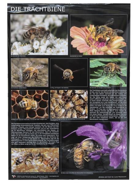 Poster Die Trachtbiene