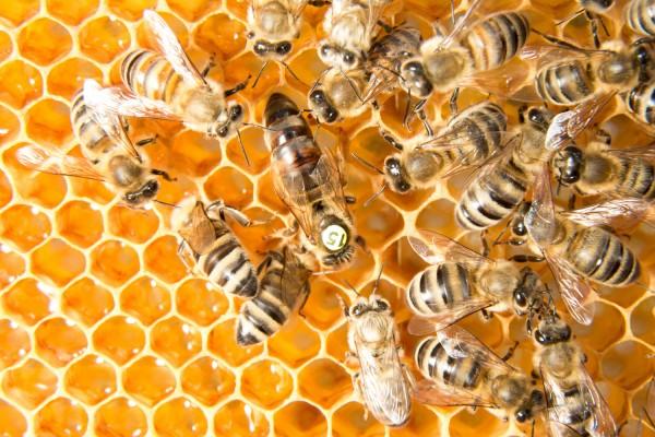 Buy Buckfast Queen Bee stationmated
