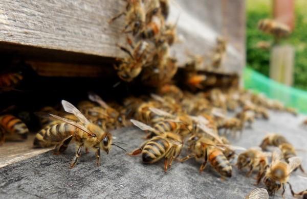 Buckfast Bienenvolk Zander Ableger