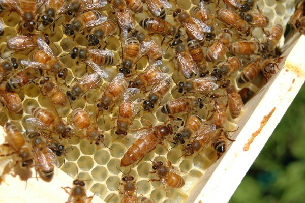 Bienen Ableger Ligustica Zander Apis Ligustica