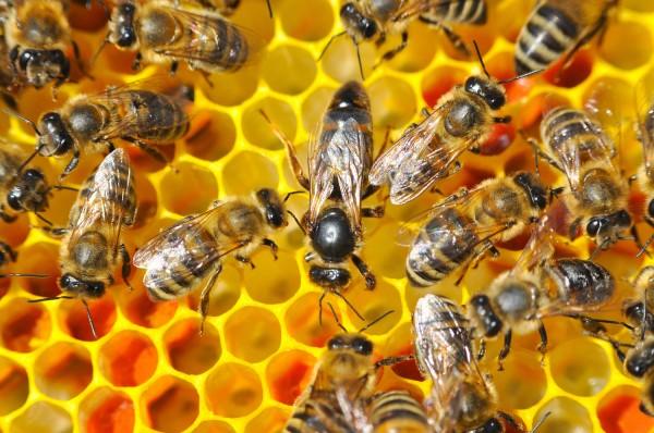 Dunkle Bienenkönigin belegstellenbegattet
