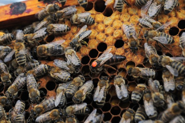 Order Carnica Queen Bee - mated