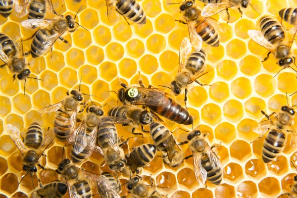 Buy Carnica Queen Bees stationmated